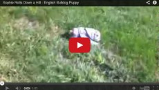 English Bulldog puppy loves rolling down hills