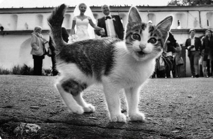 Funny-Cats-Weddings-10