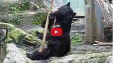 This Is No Fake: Kung Fu Panda Really Exists! This Bear Is Simply The Boss…