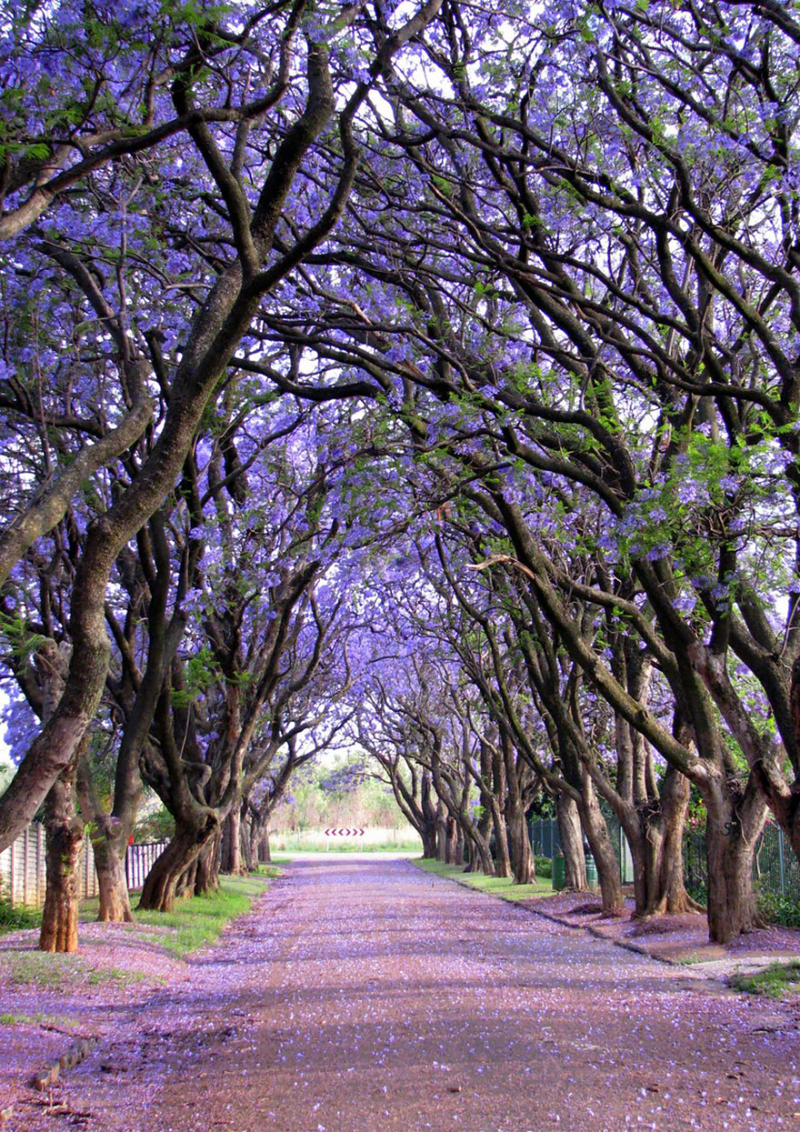 Most-Beautiful-Trees-In-World-14